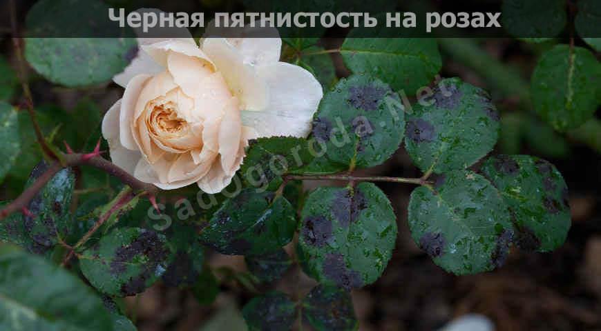 Болезни роз: фото, описание и лечение в домашних условиях, видео. Черная пятнистость
