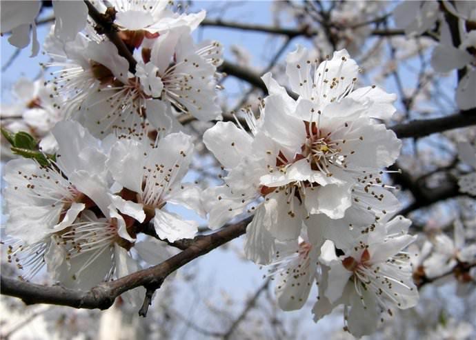 cvetenie-abrikosa-1