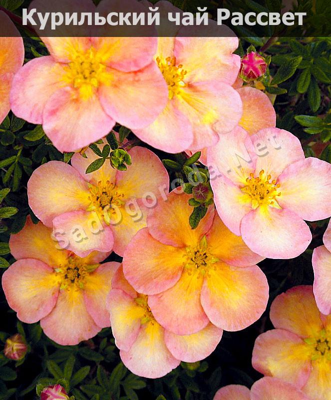 Цветы для сада и огорода многолетники фото с названиями. Курильский чай Рассвет