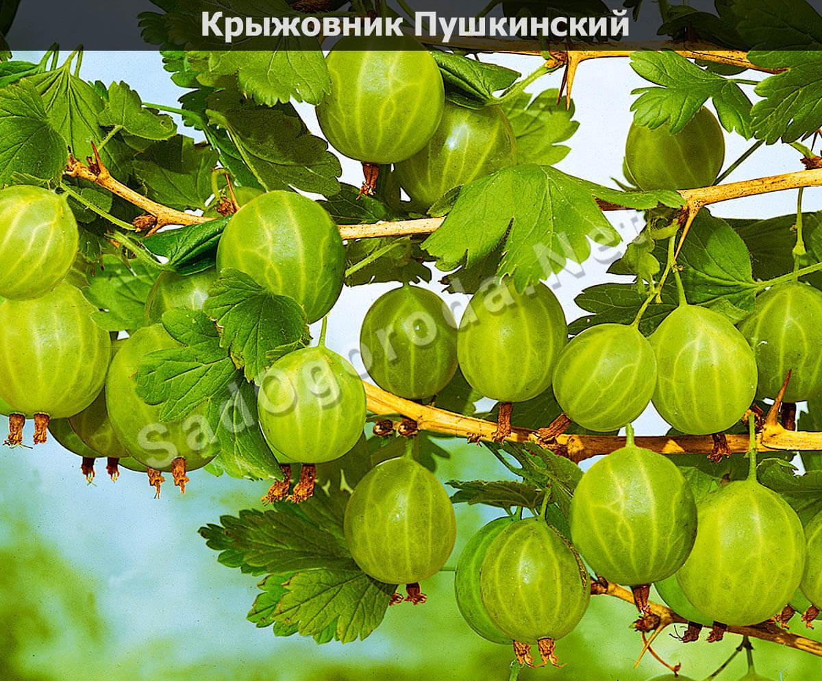 Крыжовник Пушкинский: описание сорта, фото, отзывы