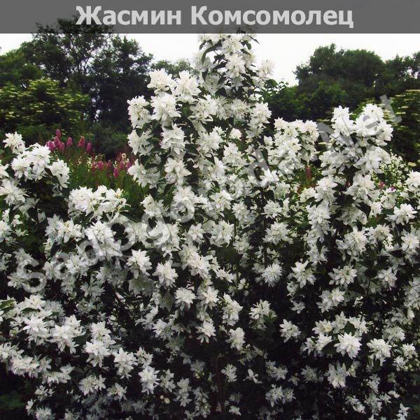 Цветы для сада и огорода многолетники фото с названиями. Жасмин Комсомолец