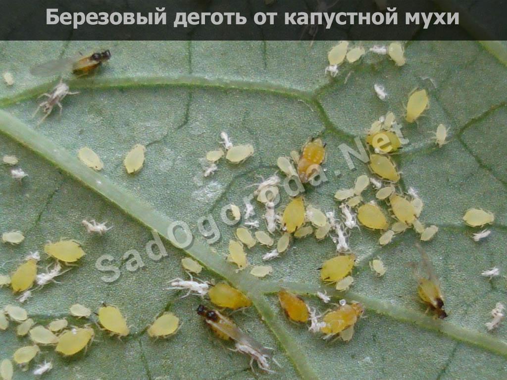 Берёзовый дёготь в огороде от вредителей: овощей, видео, отзывы, где купить. Березовый деготь от капустной мухи