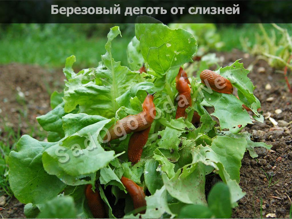 Берёзовый дёготь в огороде от вредителей: овощей, видео, отзывы, где купить. Березовый деготь от слизней