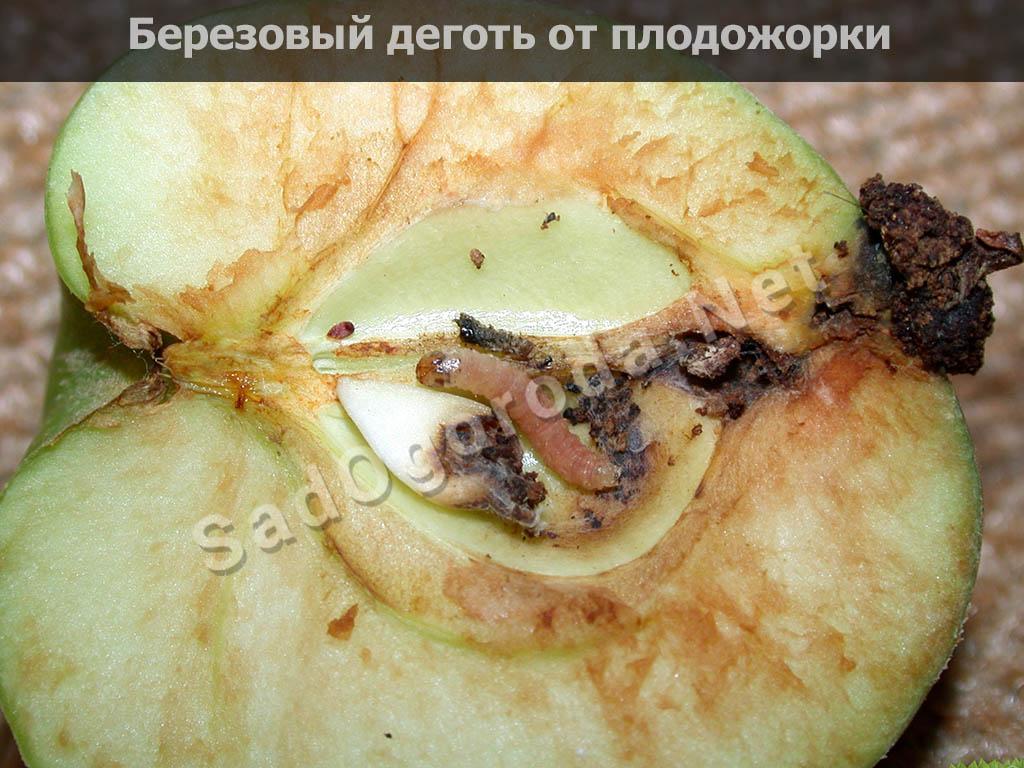 Берёзовый дёготь от плодожорки яблоневой