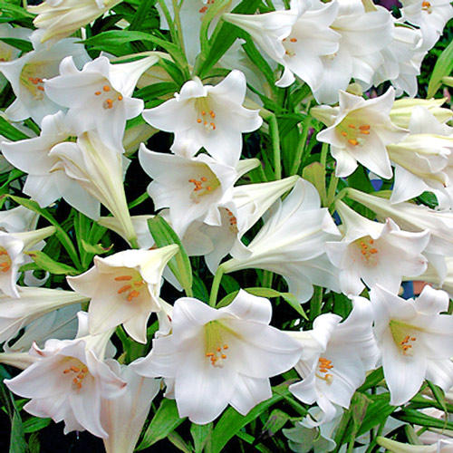 lilium-white-heaven_4