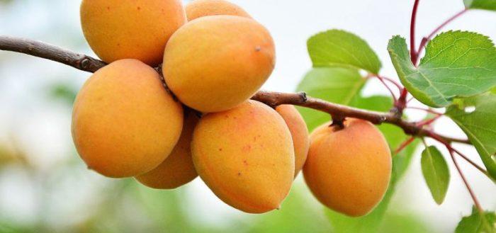 абрикос царский фото