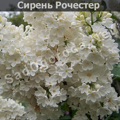 Цветы для сада и огорода многолетники фото с названиями. Сирень Рочестер