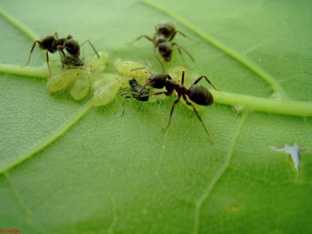 Берёзовый дёготь от тли и муравьев