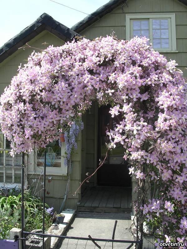 Клематис горный Рубенс украшение сада