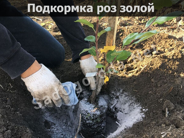 Древесная зола применение на огороде: для огурцов, для томатов, видео. Подкормка роз золой