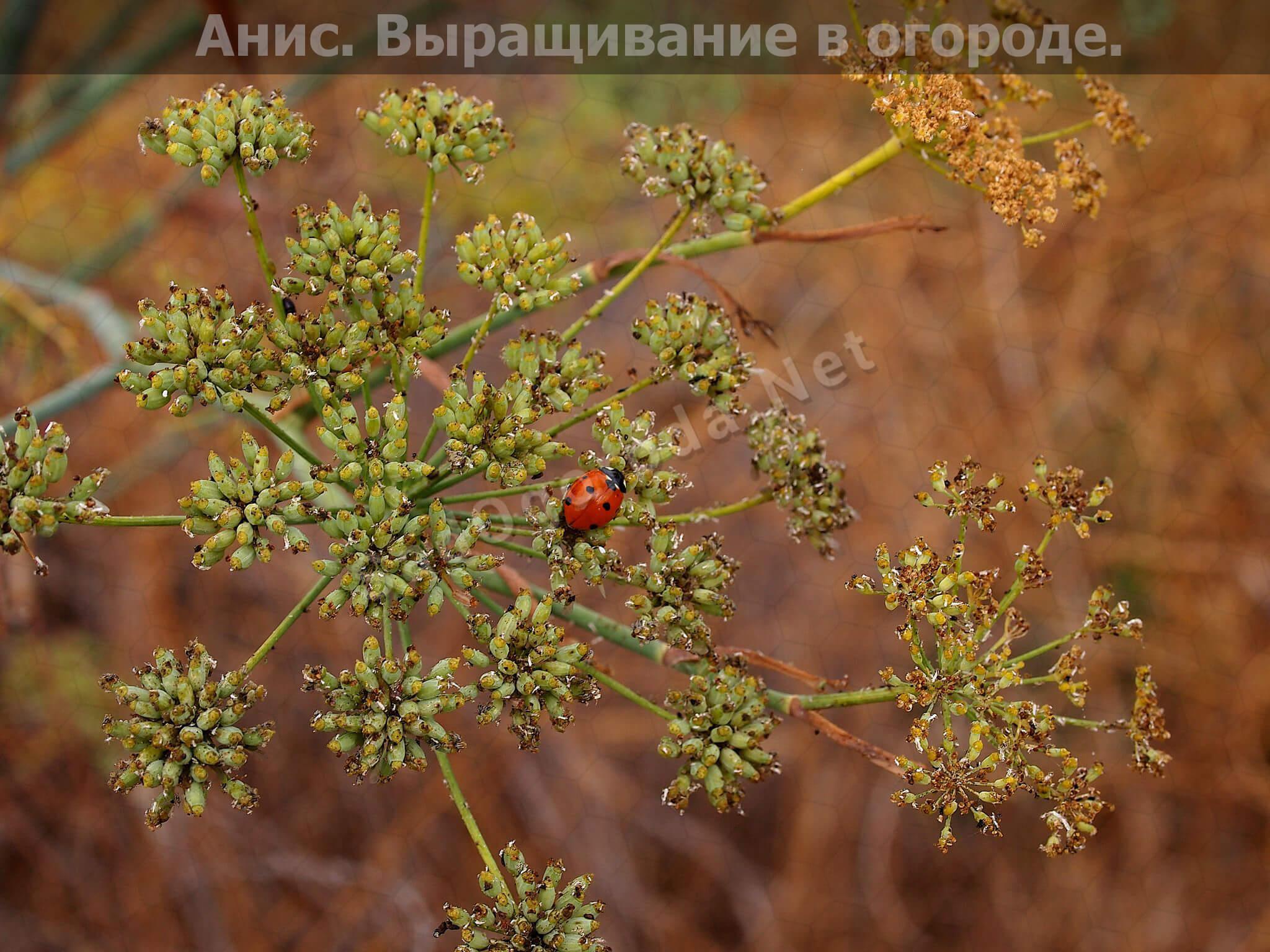 Какую зелень можно посадить в огороде: Анис