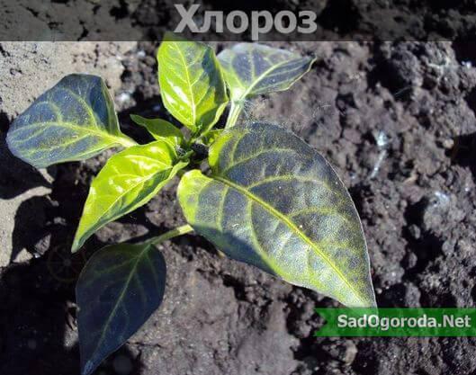 Хлороз растений причины и лечение фото. Синие листья