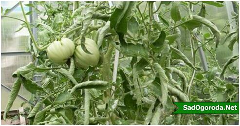 Почему листья у помидор скручиваются: что делать, чем лечить, вверх лодочкой, внутрь, желтеют, в открытом грунте, сохнут, на верхушке