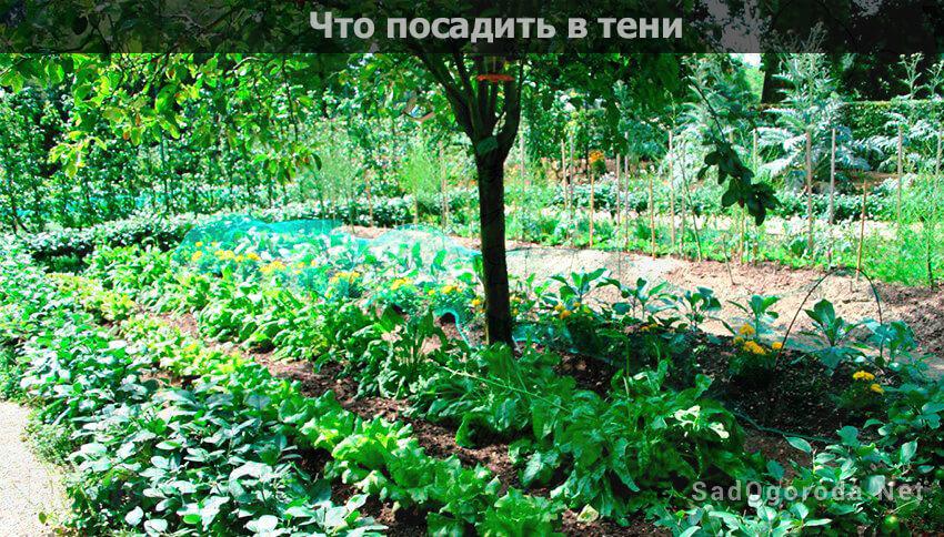 Что посадить в огороде в тени под деревьями, от дома