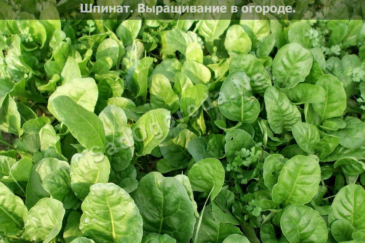 Выращивание шпината в огороде, фото