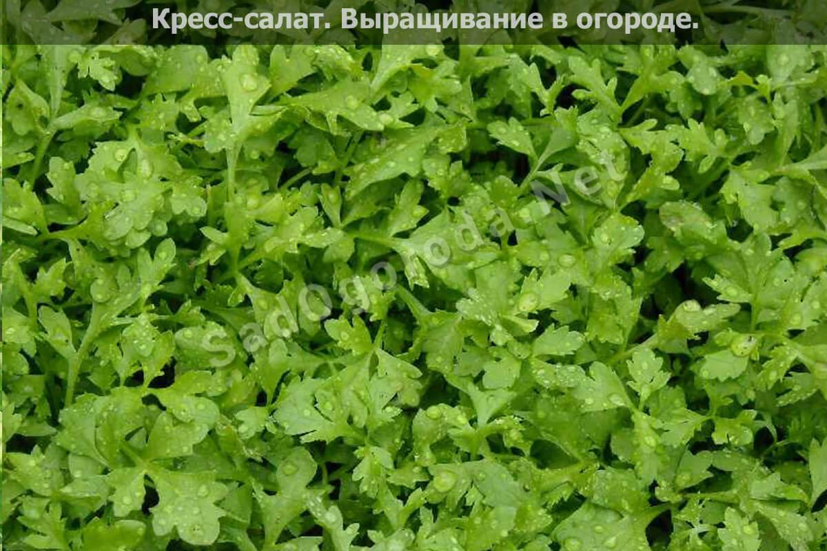 Выращивание Кресс-салат в огороде, фото