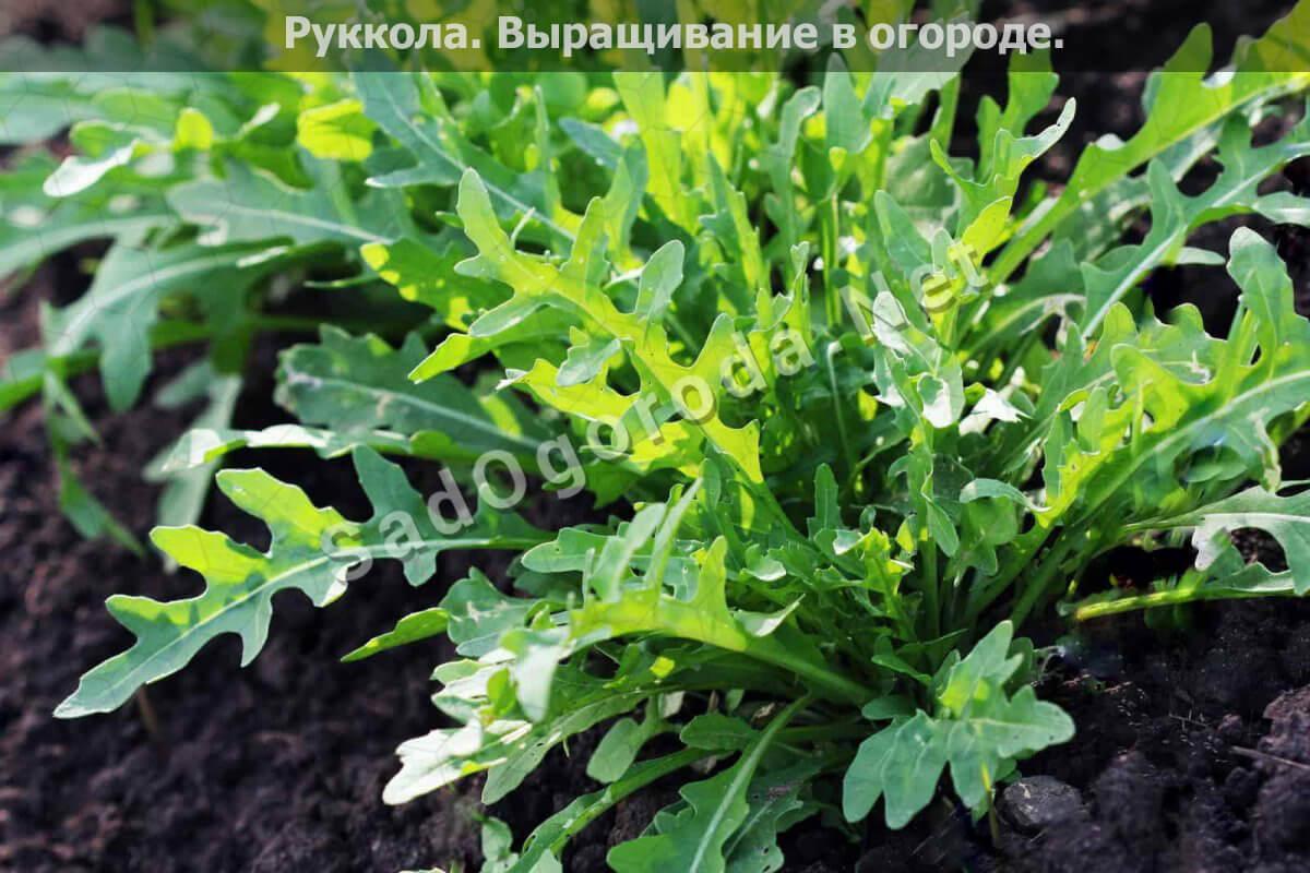 Выращивание рукколы в огороде