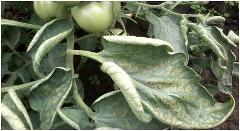 Почему листья у помидор скручиваются: в трубочку, вниз,на макушке, в теплице, верхние листья.