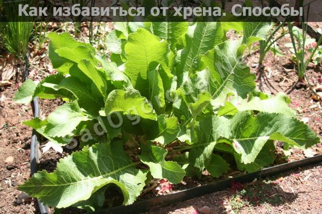 Как избавиться от хрена в огороде навсегда: народными средствами, солью, кипятком, осенью