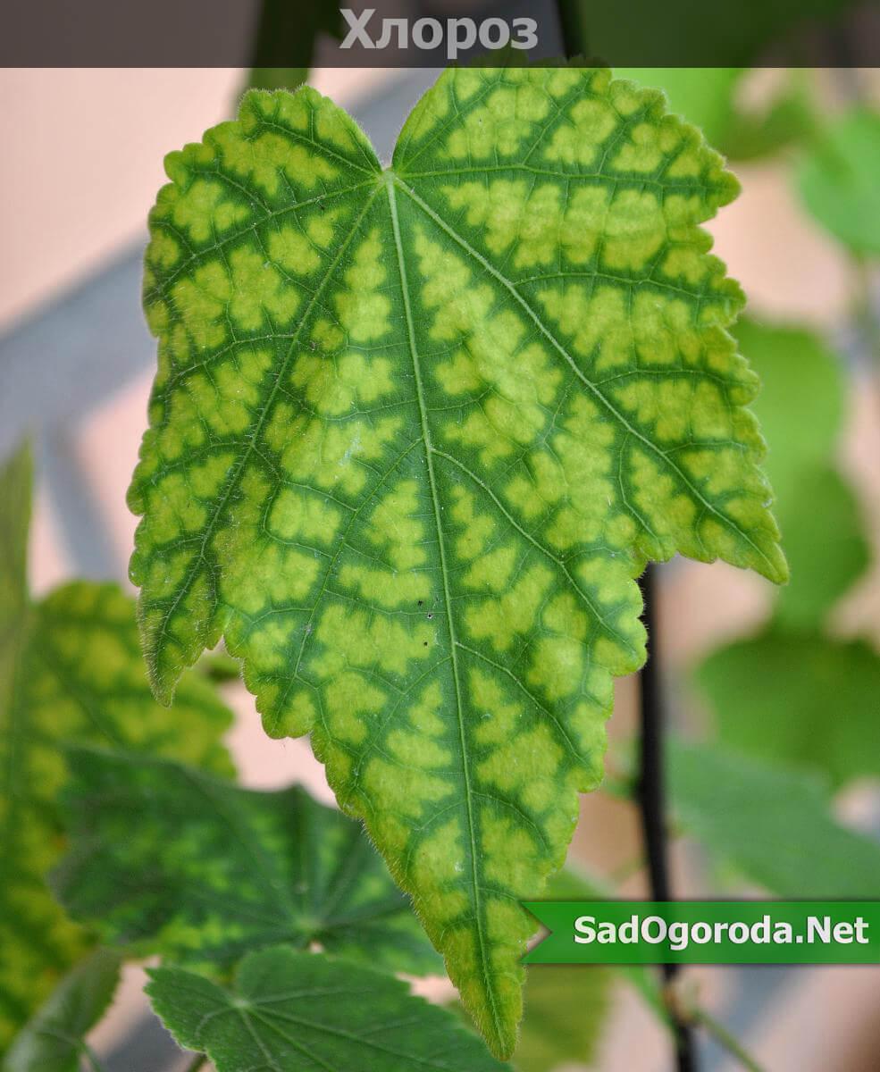 Хлороз растений причины и лечение фото