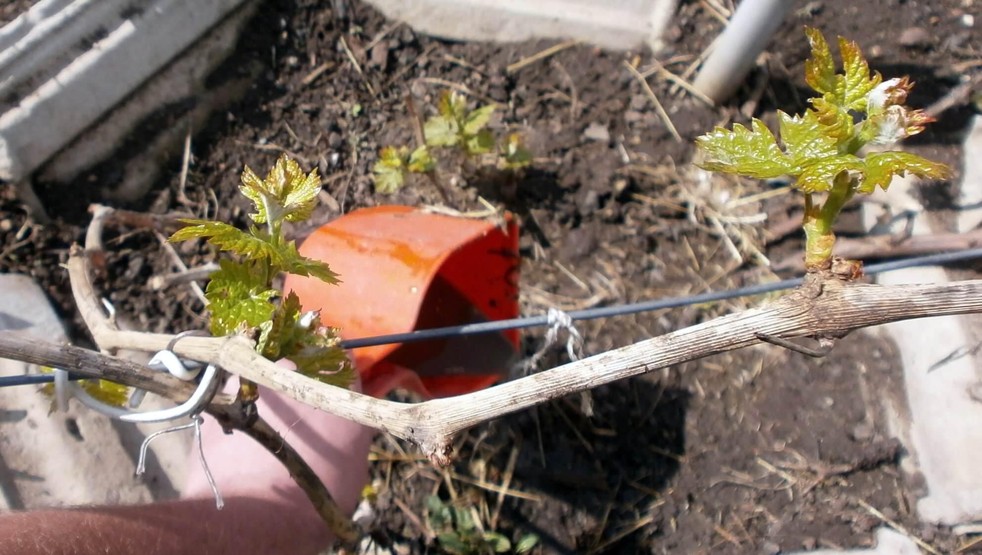 Когда и чем подкармливать виноград