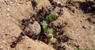 Чем травить муравьев на огороде: дома, народными средствами, химия, красный перец