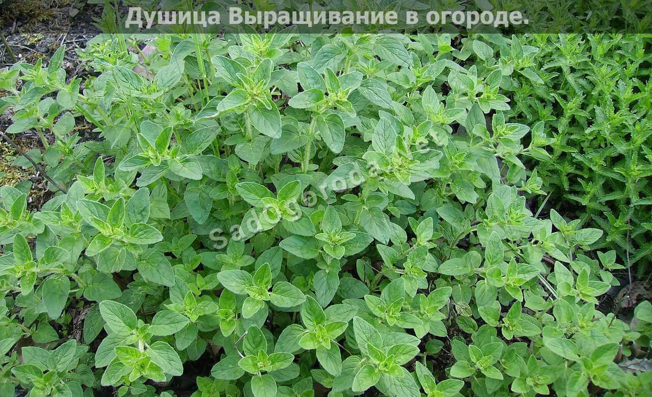 Выращивание душицы в огороде