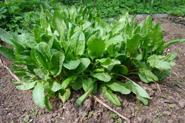 Выращивание щавеля в огороде, фото