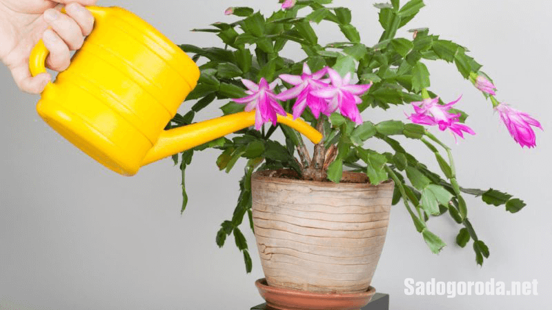 Как часто поливать цветок декабрист
