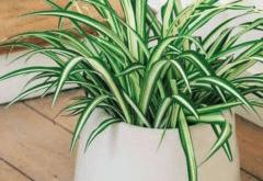 как ухаживать за хлорофитумом в домашних условиях
