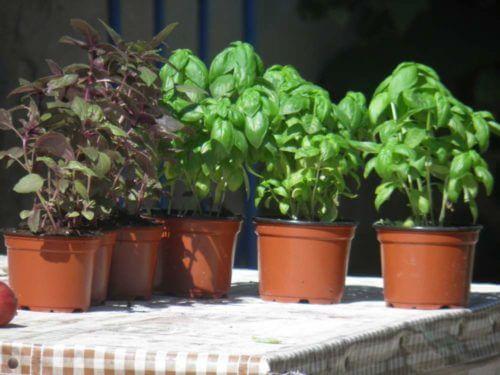 базилик в домашних условиях выращивание