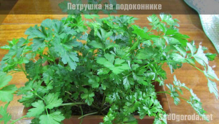 выращивание петрушки из семян в домашних условиях