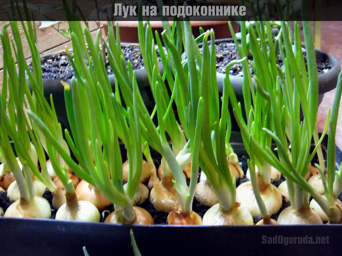 вырастить лук на подоконнике круглый год
