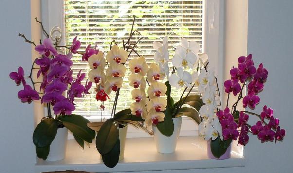 Варианты как правильно и сколько раз необходимо поливать орхидеи водой