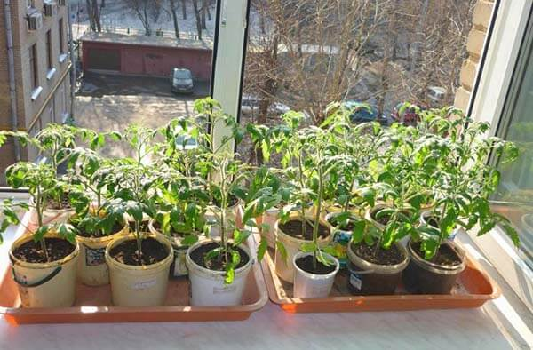 При какой температуре сеять помидоры на рассаду