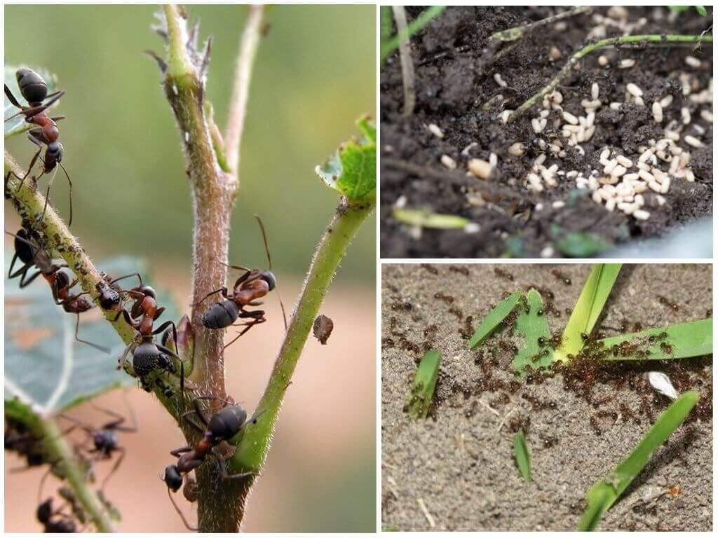 Борная кислота с медом от муравьев