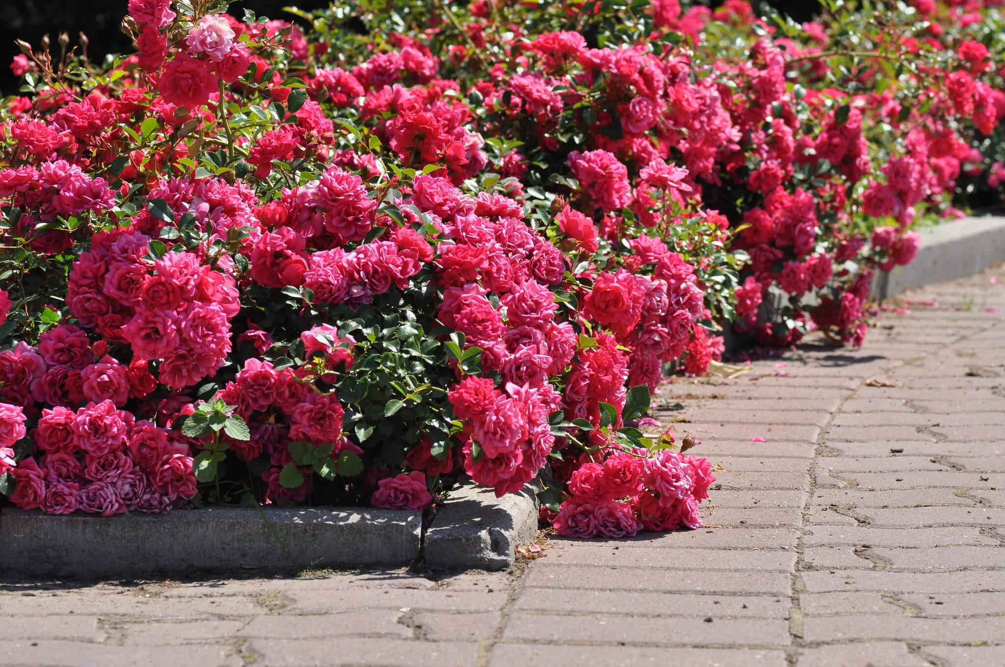 бордюрные розы сорта фото с названиями открытым