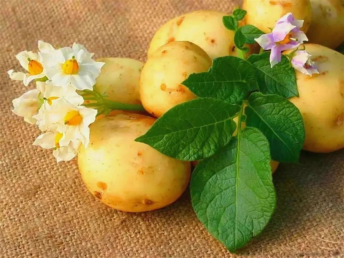 Рассада картофеля из семян в домашних условиях